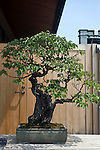 Photo shows a Japanese apricot tree on display at the Saitama Omiya Bonsai Museum of Art in Saitama, Japan on 15 Aug. 2011..Photographer: Robert Gilhooly