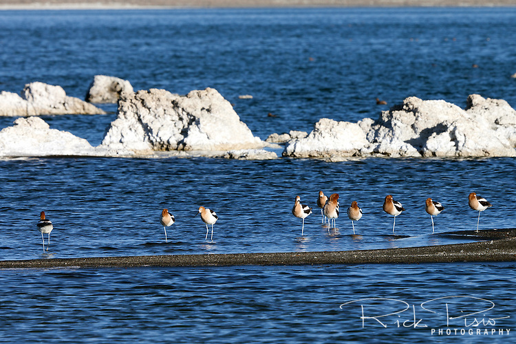 American Avocets (Recurvirostra Americana) in breeding plummage forage along Mono Lake's northern shore.<br /> This species is migratory, and mostly winters on the southern Atlantic and Pacific coasts of Mexico and the United States.<br /> <br /> The American Avocet forages in shallow water or on mud flats, often sweeping its bill from side to side in water as it seeks its crustacean and insect prey.