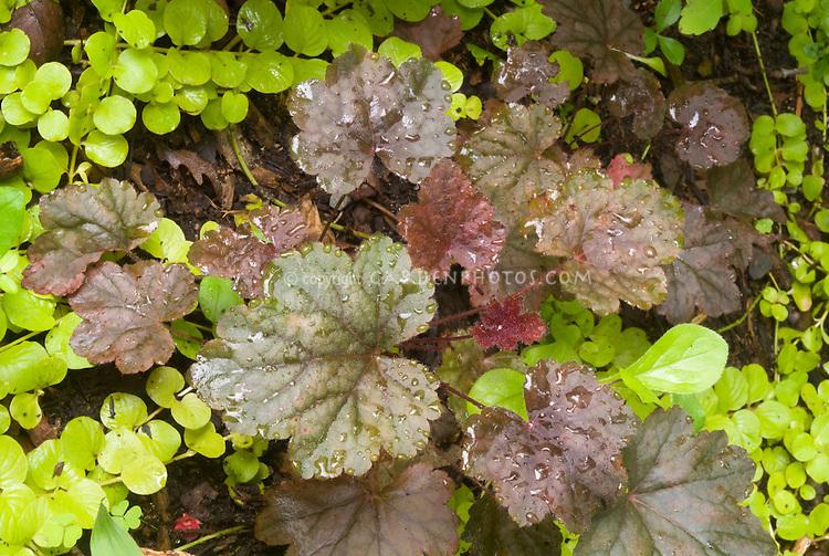 Heuchera 'Steel City' perennial foliage plant with groundcover Lysimachia nummularia 'Aurea'