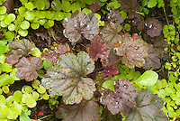 Heuchera 'Steel City' perennial foliage plant with groundcover Lysimachia nummularia 'Aurea'