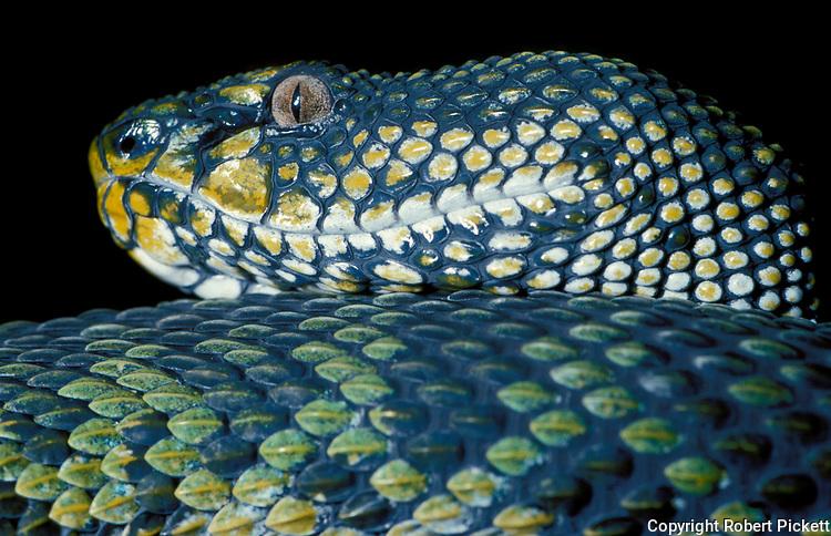 Mangrove Pit Viper, Snake, Trimeresurus purpureomaculatus, green, yellow and black scales, skin, close up showing eyes, poisonous, venemous
