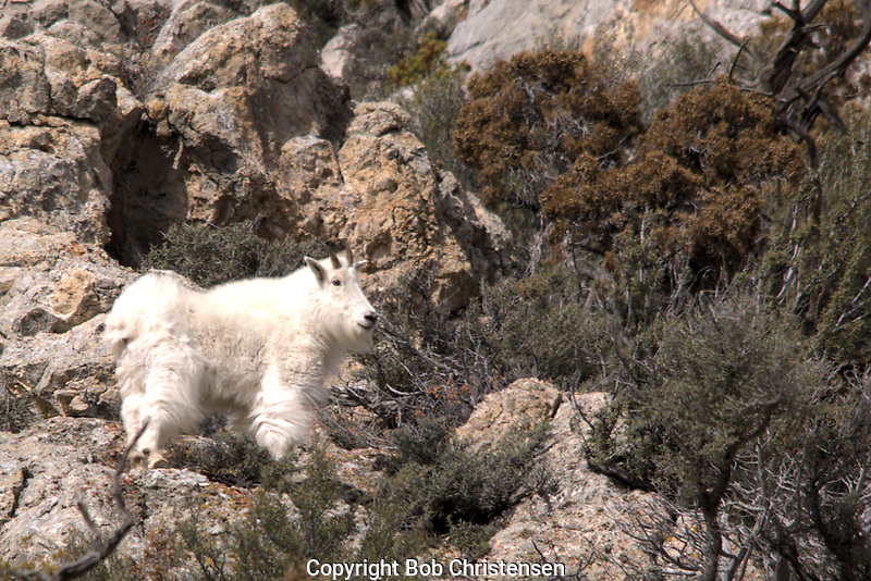 Montana Mountain Goat Photos