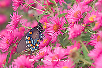 03004-00719 Pipevine Swallowtail (Battus philenor) on New England Aster (Aster novae-angliae 'Alma Potschke')Marion Co.  IL