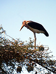 AWASA - ETHIOPIA - 15 APRIL 2004 --A Marabou Stork in a tree at the shore of the the East African Rift Valley lake of Awasa. --PHOTO: JUHA ROININEN / EUP-IMAGES