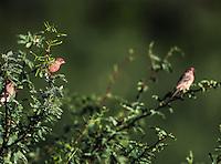 ave en vuelo entre las ramas de fin mesquite en el  Rancho eco tur&iacute;stico  El Pe&ntilde;asco en el pueblo Magdalena de Kino. Magdalena Sonora. <br /> &copy;Foto: LuisGutierrrez/NortePhoto