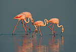 Greater Flamingo, Phoenicopterus ruber, Camargue, Southern France, reflection, wetland bird, feeding, lagoon filter feeder, Arles, Marseille Provence, Ornithology, conservation, tourist attraction, pink colour.France....