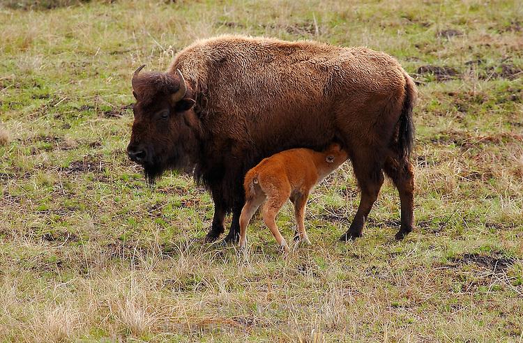 Bison Female Nursing Newborn Calf, Madison Junction, Yellowstone National Park, Wyoming