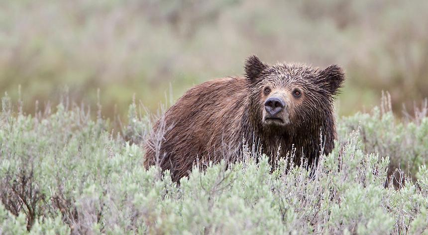 Grizzly Bear<br /> Ursus arctos