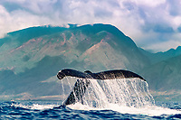 humpback whale, Megaptera novaeangliae, lobtailing, tail-slapping, AuAu Channel, West Maui Mountain, Maui, Hawaii, USA, Pacific Ocean