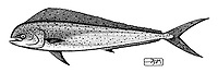 Common dolphinfish, Coryphaena hippurus, lateral view, pen and ink illustration.