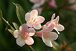 A close-up of Kolkwitzia( beautybush ), a pink colored flowering shrub.