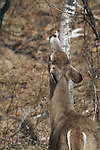 White-tailed buck touching licking branch