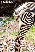 0608-1105  Grevy's Zebra (Imperial Zebra), Closeup of Hindquaters and Tail, Equus grevyi  © David Kuhn/Dwight Kuhn Photography
