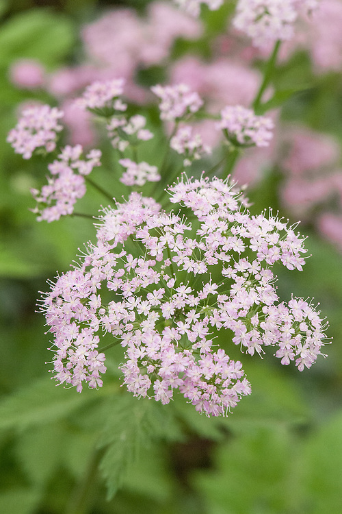 Chaerophyllum hirsutum 'Roseum', mid May. A perennial with dissected, aromatic foliage and umbels of lilac-pink flowers in late spring or early summer. Commonly known as Hairy chervil.