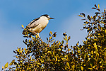Black-Crowned Night-Heron on a branch, Upper Newport Bay, CA.