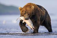 A large male bear catches at eats a salmon. Kodiak grizzly bear (Ursus arctos middendorffi), Hallo Bay