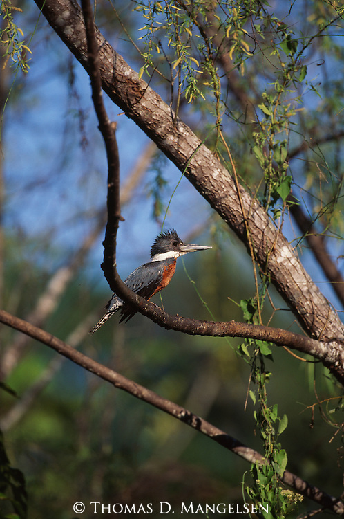 Ringed Kingfisher perched in tree