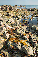 Rocky shore of Kaikoura coastline with bull kelp seaweed, Kaikoura, Marlborough Region, South Island, East Coast, New Zealand