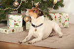 Terrier Dog sitting by Christmas Tree with Presents