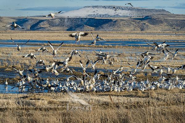 Snow Geese (Chen caerulescens) landing in field, Lower Klamath NWR, Oregon/California.  Feb-March.