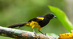 The Black-cowled Oriole, Icterus prosthemelus, ranges from southern Mexico to Panama.  This male oriole is perched on a branch in Costa Rica.