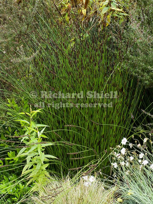 SOUTH AFRICAN RUSH GRASS, CHONDROPETALUM TECTORUM