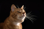 Whiskers Ginger Cat  (Ronnie)