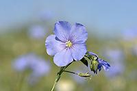 Perennial Flax - Linum perenne