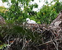 Harpy eagle chick in nest
