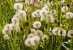 Close up, dandelion seed heads, Taraxacum,  chalk upland grassland Salisbury Plain, near Tilshead, Wiltshire, England, UK