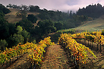 Grape vines in fall below hills at Hanna Vineyards, Alexander Valley, Sonoma County, California