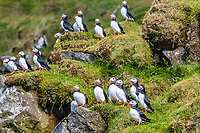 Atlantic puffin, or common puffin, Fratercula arctica, Mykines, Faroe Islands, Kingdom of Denmark, Atlantic Ocean