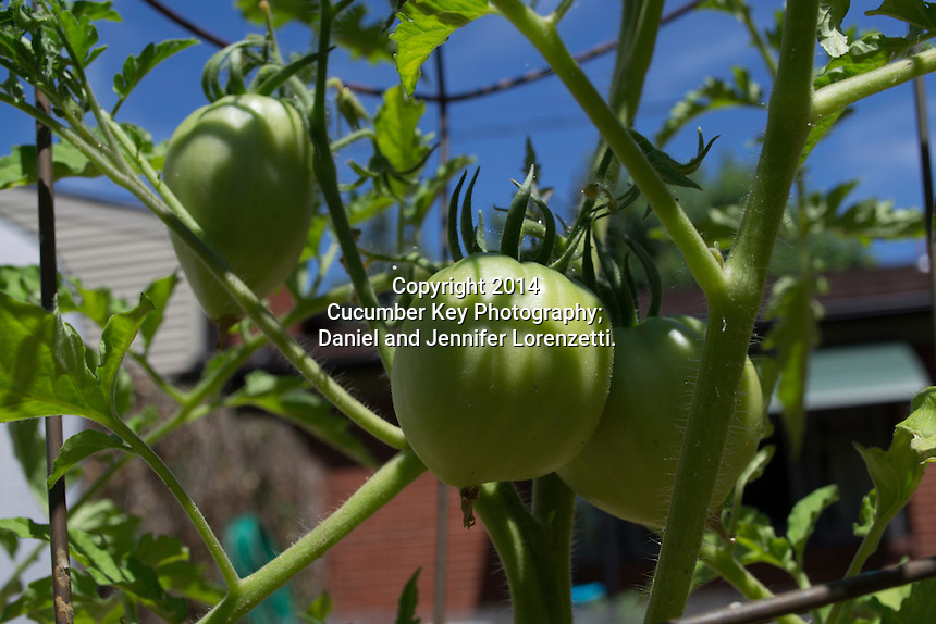 Early fruit set on a Cuor di Bue tomato plant in a home garden.