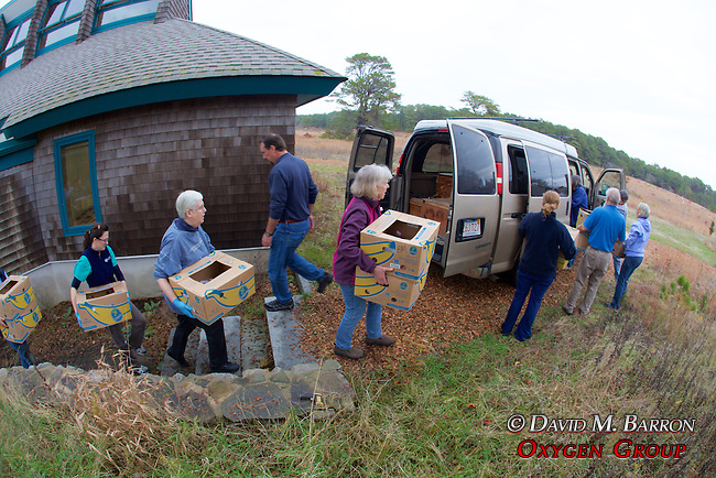 Judith Rhome And Other Volunteers Transporting Stranding Sea Turtles In Boxes, Welfleet Bay Wildlife Sanctuary, Audubon