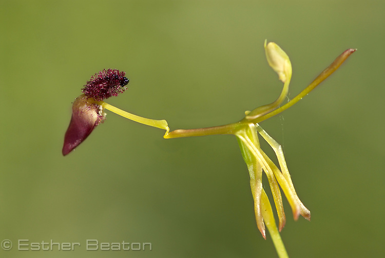 Glossy-leaved Hammer Orchid (Drakaea elastica) near Yallingup, Margaret River area of Western Australia.