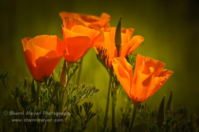 California Poppies, Auburn, California.