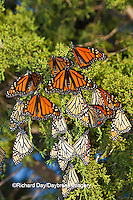 03536-05306 Monarch butterflies (Danaus plexippus) roosting in Eastern Red Cedar tree (Juniperus virginiana),  Prairie Ridge State Natural Area, Marion Co., IL