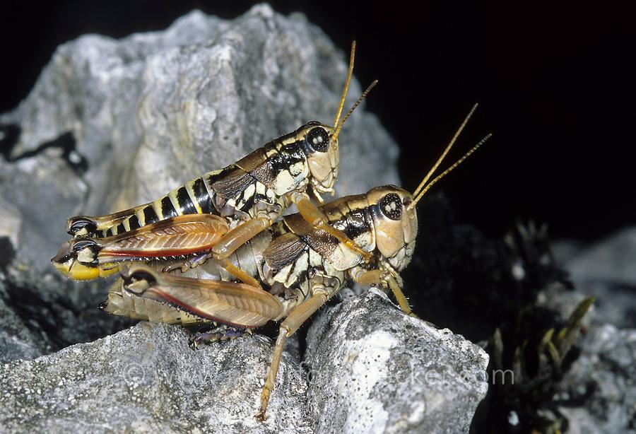 Gewöhnliche Gebirgsschrecke, Paarung, Kopula, Kopulation, Gewöhnliche Gebirgs-Schrecke, Podisma pedestris, brown mountain grasshopper, copulation, pairing
