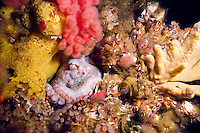A small Giant Pacific Octopus (Octopus dolfleini) hides among the soft corals and sponges in Browning Pass off northern Vancouver Island, British Columbia, Canada.