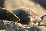 Elephant seal pup flipping sand