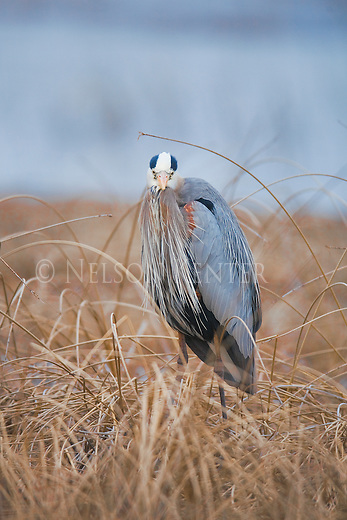 Great Blue Heron in Montana