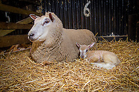New born lambs - March