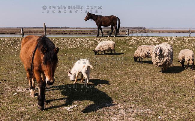 Venezia - Laguna Nord Lio Piccolo. Cavalli, apre e pecore in laguna. Venice - Lio Piccolo: horses, sheep and goats in lagoon-