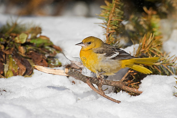Northern Oriole female in winter. (Lcterus galbula). Nova Scotia. Canada.