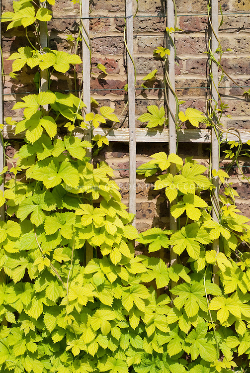 Humulus lupulus 'Aureus' Golden hops vine growing on brick wall and wooden trellis
