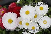 Gisela, FLOWERS, BLUMEN, FLORES, photos+++++,DTGK2381,#f#, EVERYDAY
