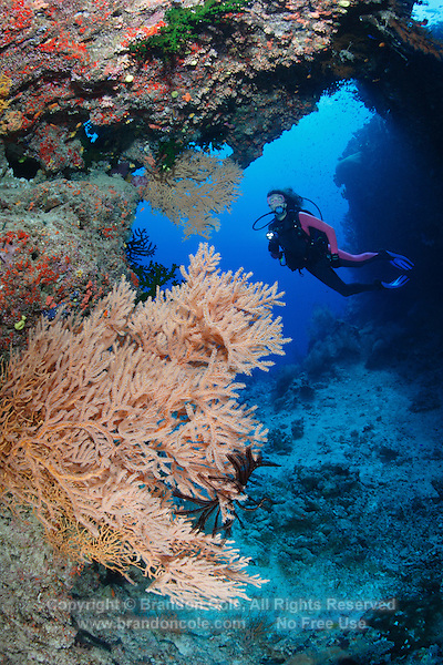 qe0435-D. scuba diver (model released) swimming under archway in the coral reef. Gorgonian sea fan (species? Subergorgia sp?) in foreground. Fiji, tropical Pacific Ocean..Photo Copyright © Brandon Cole. All rights reserved worldwide.  www.brandoncole.com..This photo is NOT free. It is NOT in the public domain. This photo is a Copyrighted Work, registered with the US Copyright Office. .Rights to reproduction of photograph granted only upon payment in full of agreed upon licensing fee. Any use of this photo prior to such payment is an infringement of copyright and punishable by fines up to  $150,000 USD...Brandon Cole.MARINE PHOTOGRAPHY.http://www.brandoncole.com.email: brandoncole@msn.com.4917 N. Boeing Rd..Spokane Valley, WA  99206  USA.tel: 509-535-3489