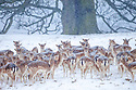 Fallow Deer heard (Dama dama) in heavy snow in front of beech tree. Chatsworth Park, Derbyshire, Peak Distict National Park. January.