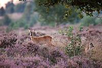 Roe deer (Capreolus capreolus) in National Pak Sallandse Heuvelrus, Netherlands.
