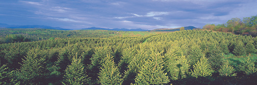 Christmas tree plantation ready for harvesting at The Rocks Estate, owned by the Society for the Prortection of New Hampshire Forests. Photograph by Peter E. Randall